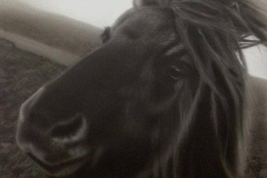 Dartmoor Pony Portrait